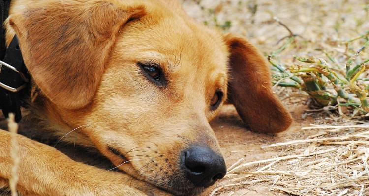 enfermedades mas comunes en perros 2