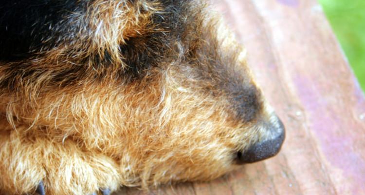 enfermedades mas comunes en perros 3