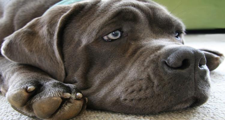 enfermedades mas comunes en perros 4