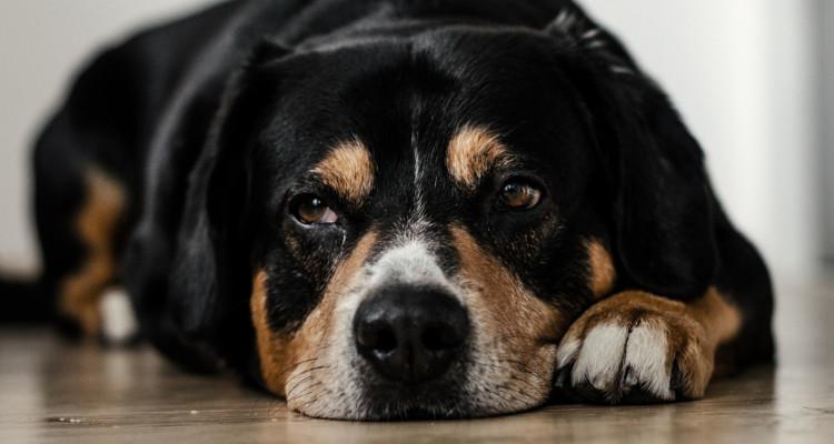 enfermedades mas comunes en perros 5