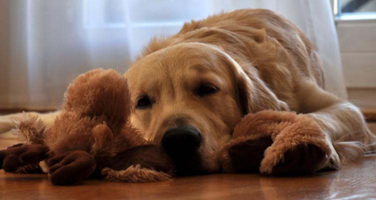 enfermedades mas comunes en perros 6