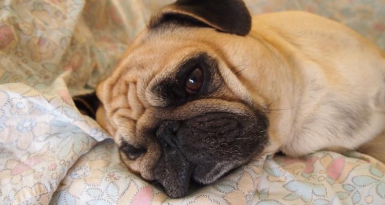 enfermedades mas comunes en perros 7