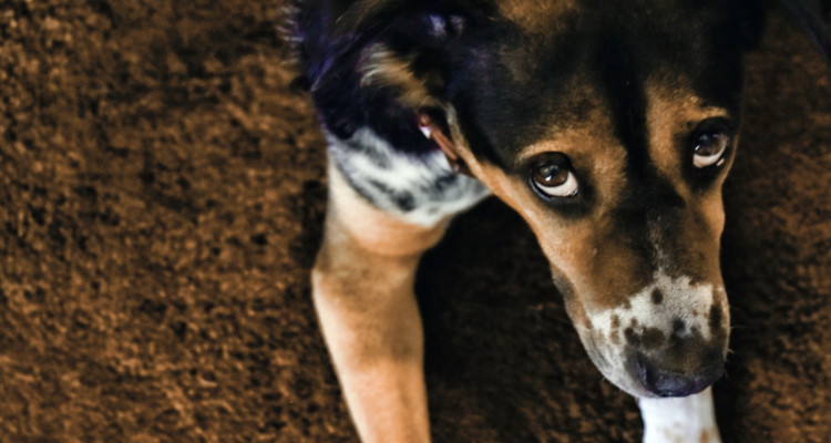 enfermedades mas comunes en perros 8