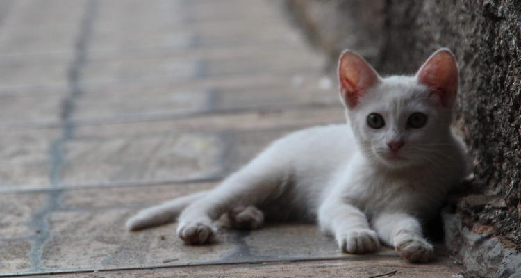 Fiebre y vomitos en gatos