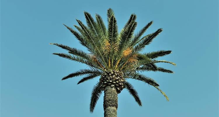 Cuánto cuesta podar una palmera