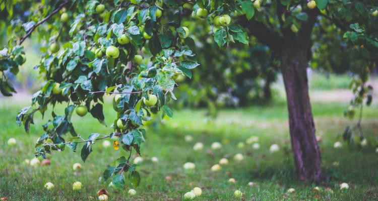 Plantar árbol frutal